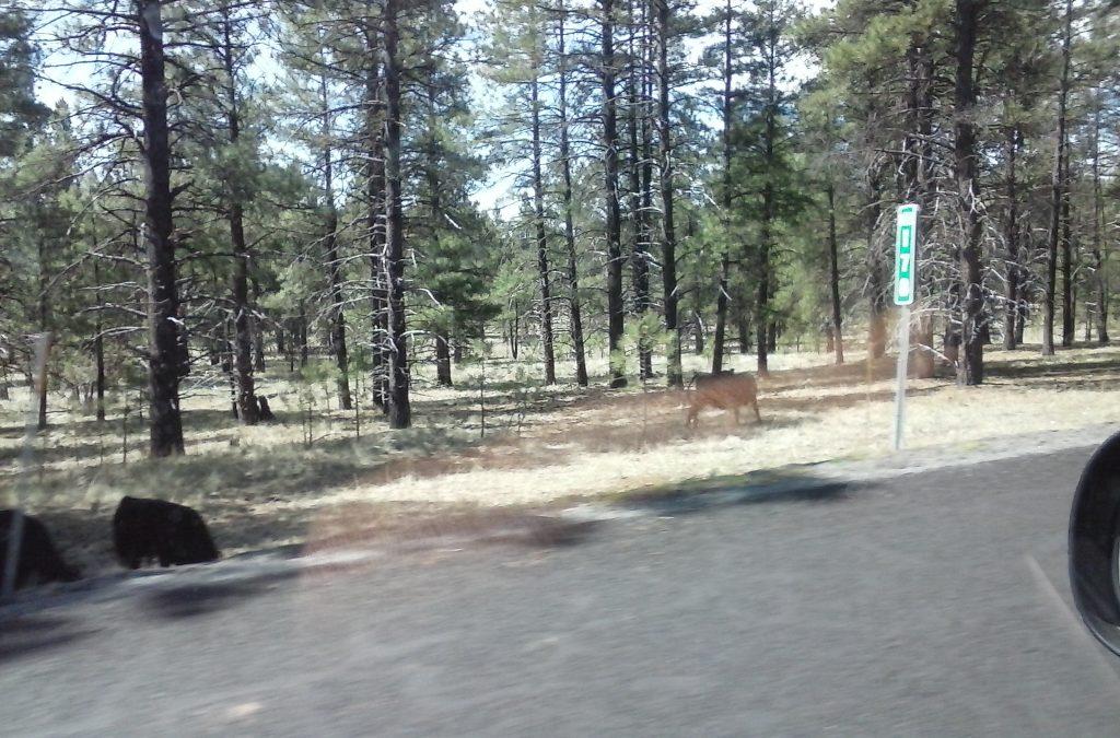 Open Range Cattle Near Williams,AZ Route 66